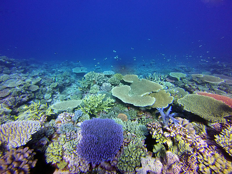 Reef scenic showing some large table Acroporas and bushy Pocilloporas.
