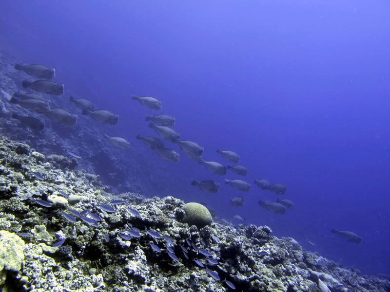 School of Bumphead Parrotfish (Bolbometopon muricatum) passes over the reef and heads down a sloping dropoff.
