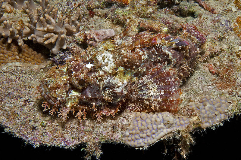Scorpionfish (Scorpaenopsis sp.)