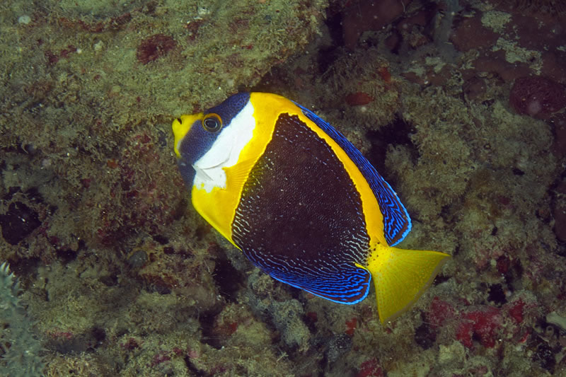 Scribbled Angelfish (Chaetodontoplus duboulayi) a striking species we have not encountered before during the Global Reef Expedition.