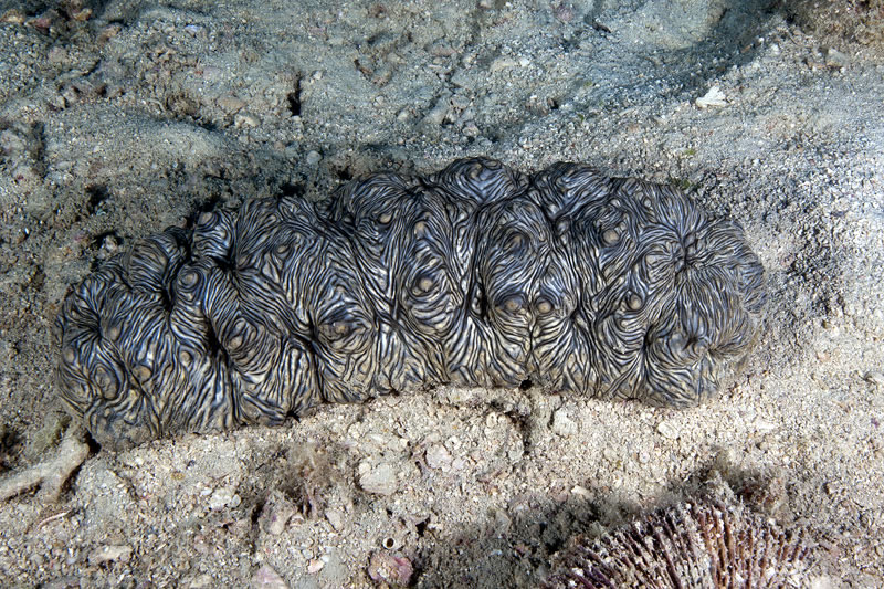 Undescribed species of sea cucumber (Stichopus sp.) with interesting striped pattern and upolstered texture.