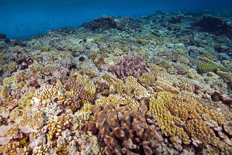 Shallow reef crest (3 meter depth) covered with Acropora and Pocillopora corals.