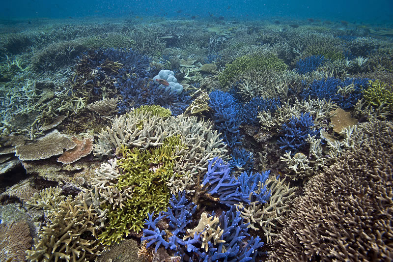 Shallow water reef top covered in various colors of table and branching thickets of Acropora coral.