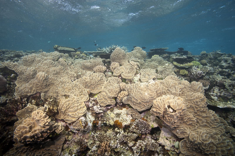 Sheets of Sinularia soft coral covers the reef crest.