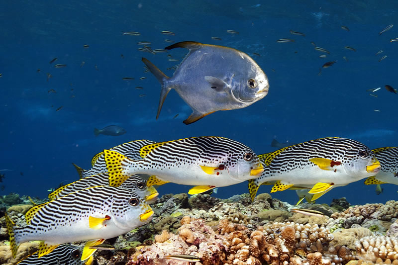 Silvery Snubnose Pompano (Trachinotus blochi) swimming over a school of Diagonal-banded Sweetlips (Plectorhinchus lineatus).