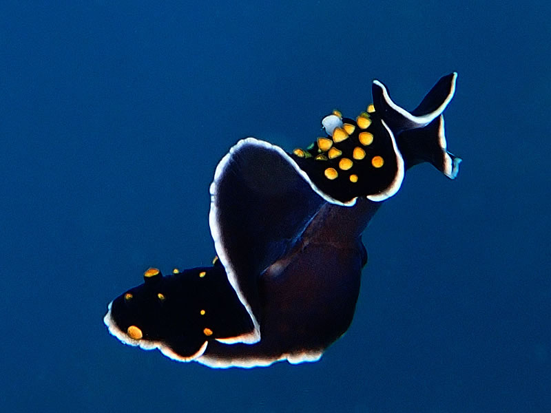 Small black and yellow spotted flatworm swimming through the water column like a magic carpet.