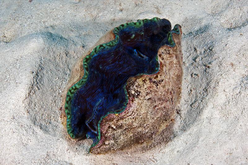 Smooth Giant Clam (Tridacna derasa).
