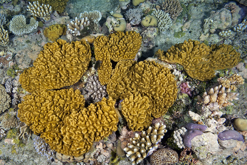 Soft Corals of Ribbon Reefs