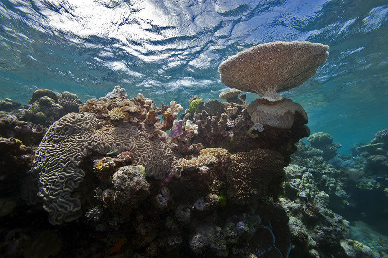 Table acroporid, large polyp Lobophyllia and other corals growing near the surface of a sloping drop-off.