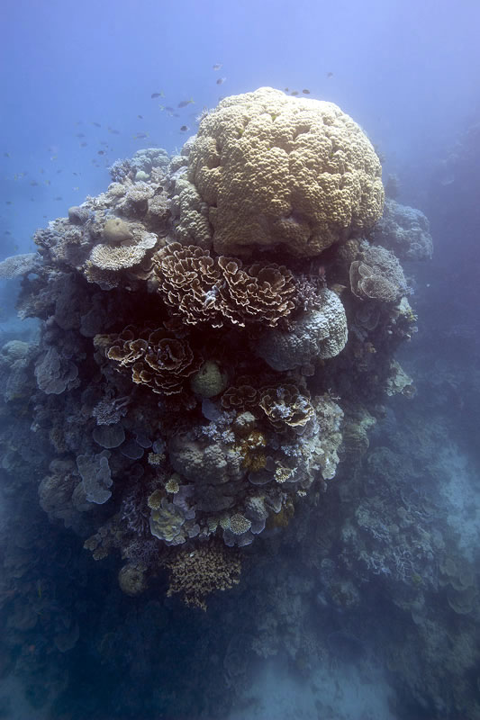 Tall coral pinnacle capped with a Porites lobata rises out of the dusky gloom.