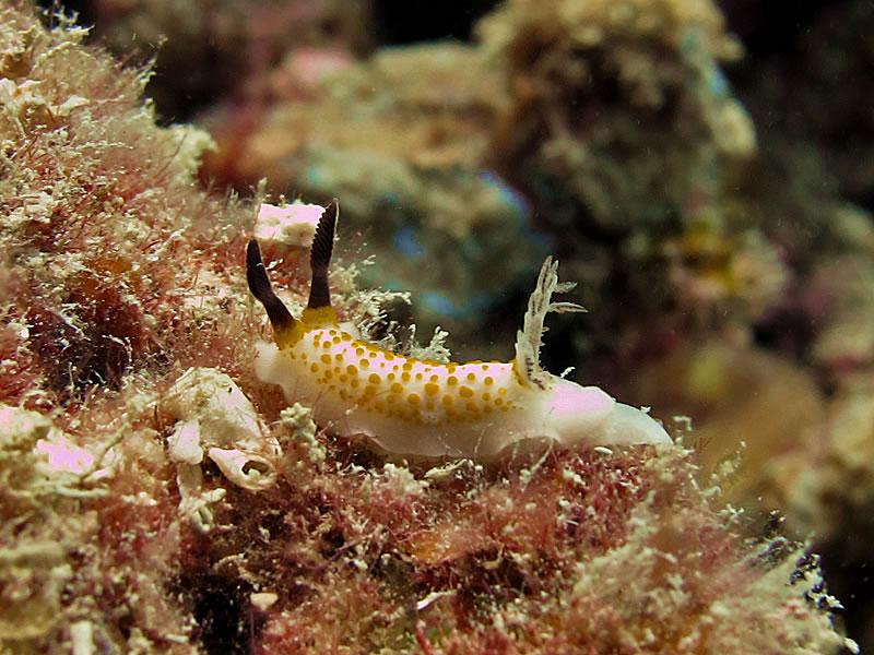 Taringa halgerda dorid nudibranch.