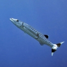 Blackfin Barracuda (Sphyraena qenie) with interesting black and white markings on tail.