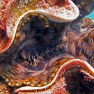 Colorful mantle of giant clam (Tridacna sp.)