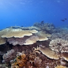 Top of coral bommie in the lagoon covered with branching and table Acorpora corals.