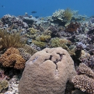 Coral scene featuring a large Euphyllia coral head.