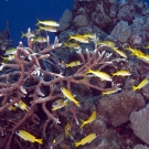 Yellowfin Goatfish and and Bluestripe Snappers swim within Acropora coral.