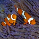 Close-up of False Clown Anemonefish (Amphiprion ocellaris).