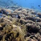 Field of bottlebrush type Acropora corals.