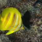 Goldbarred Butterflyfish (Chaetodon rainfordi) a bright splash of color on the reef.