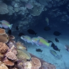 Group of Steephead Parrotfish (Chlorurus microrhinos) and surgeonfishes cruising by drop-off.
