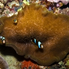 Orange-finned Anemonefish (Amphiprion chrysopterus) in Adhesive Anemone (Stichodactyla mertensii).