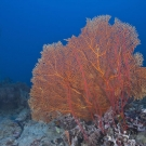 Orange sea fan (Subergorgia sp.) and red sea whips.