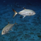 Pair of Bigeye Trevally (Caranx sexfasciatus) in front of large school of snappers.