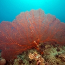 Large (> 1m diameter) red sea fan (family Melithaeidae).