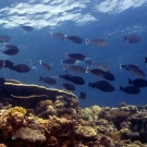 School of Spotted Unicornfish (Naso brevirostris) cruise by a wall on the reef.