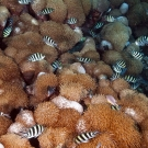 Scissortail Sergeant (Abudef sexfasciatus) damselfishes living among the Goniopora coral.