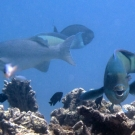 Steephead Parrotfish (Chlorurus microrhinos) along with a grouper, damselfishes, and surgeonfishes.