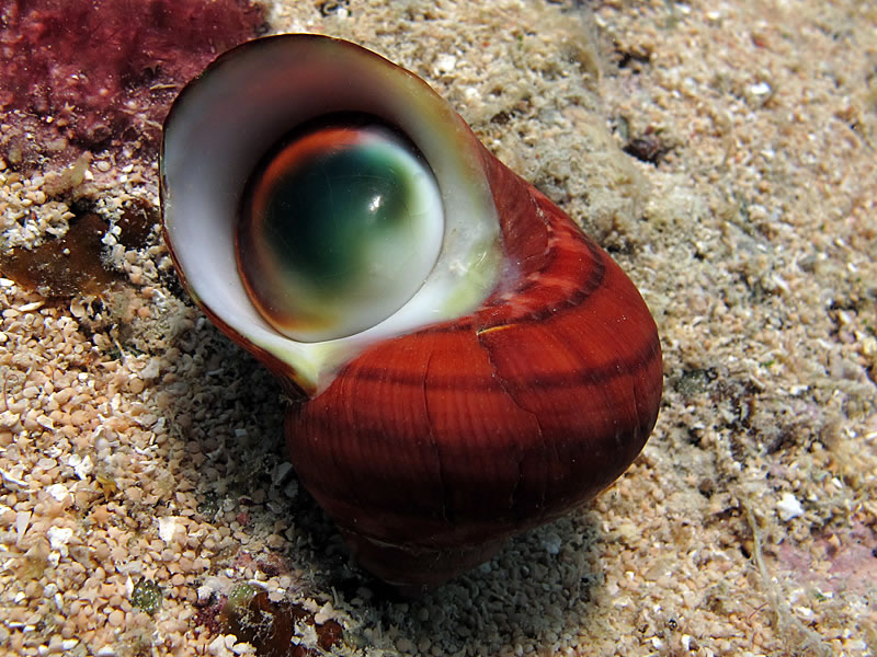 Turban Shell (Turbo sp.) with