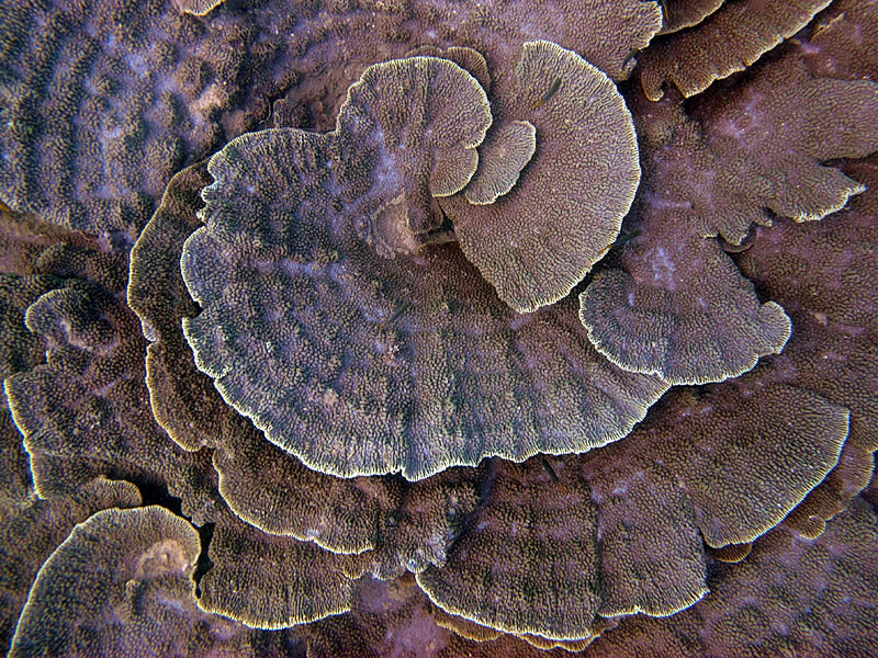 Whirls of Montipora coral.