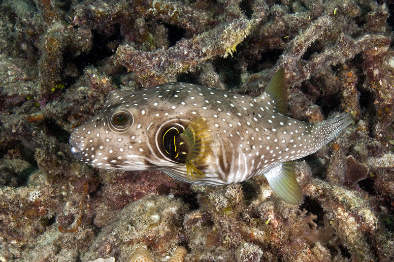White-spotted Puffer (Arothron hispidus).
