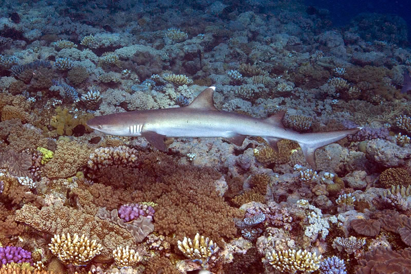 A small (1 meter) Whitetip Reef Shark (Triaenodon obesus) cruises over the shallow top of a coral bommie.