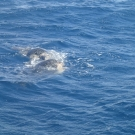 green-sea-turtle-mating-09
