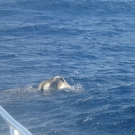 green-sea-turtle-mating-11