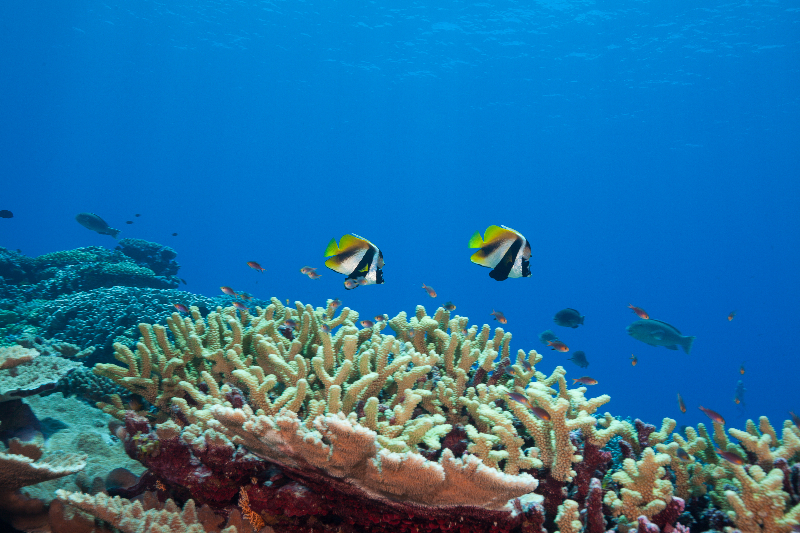 Healthy reef system with masked bannerfish (Heniochs monoceros)