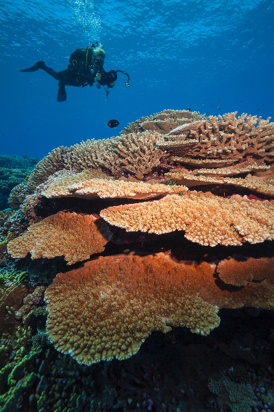 Acropora abrotanoides is the dominant coral in this image. With Megan Cook