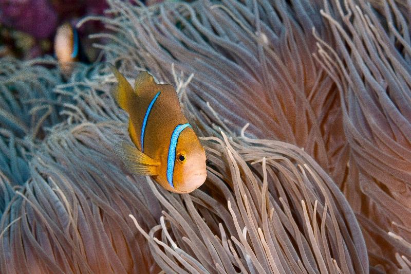 Orange-fin Anemonefish (Amphiprion chrisopterus) in host anemone (Heractis crispa)