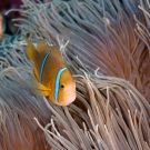 Orange-fin Anemonefish (Amphiprion chrisopterus) in host anemone (Heractis crispa)