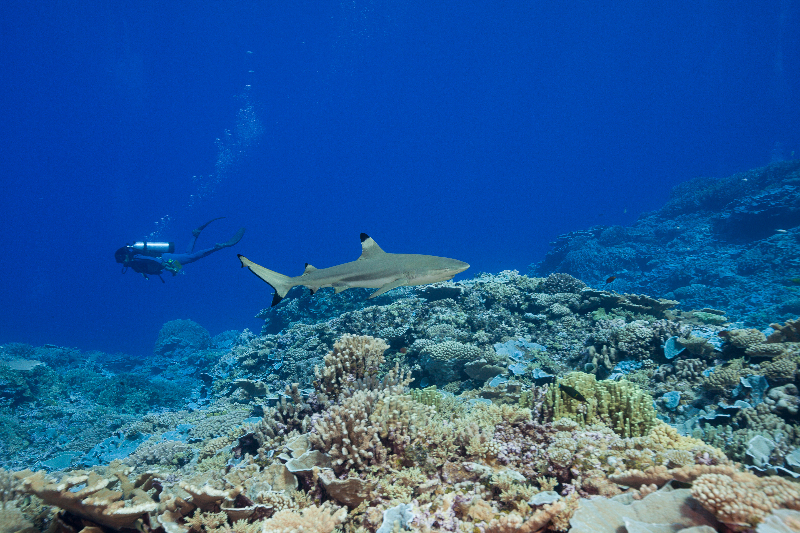 Grey reef shark swimming in a healthy coral reef system.