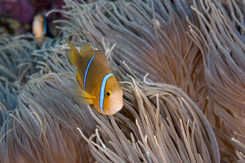 Orange-fin Anemonefish in host anemone.