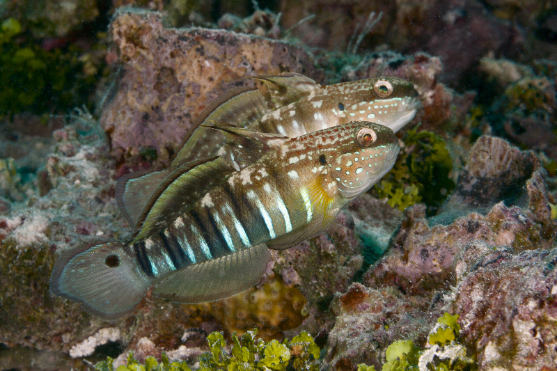Half-banded goby.