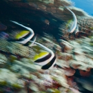 Motion blur shot of Longfin bannerfish.