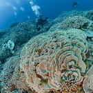 Acropora abrotanoides is the dominent coral in this image.