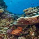 Soldierfish under branches of healthy coral reef system.