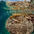 Pavona is the dominant coral in this image.  Acropora is directly at the surface in this shallow water environment. Blue chromis schooling at the surface.