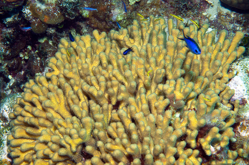 Yellow pencil coral with Blue Chromis and juvenile Bluehead.