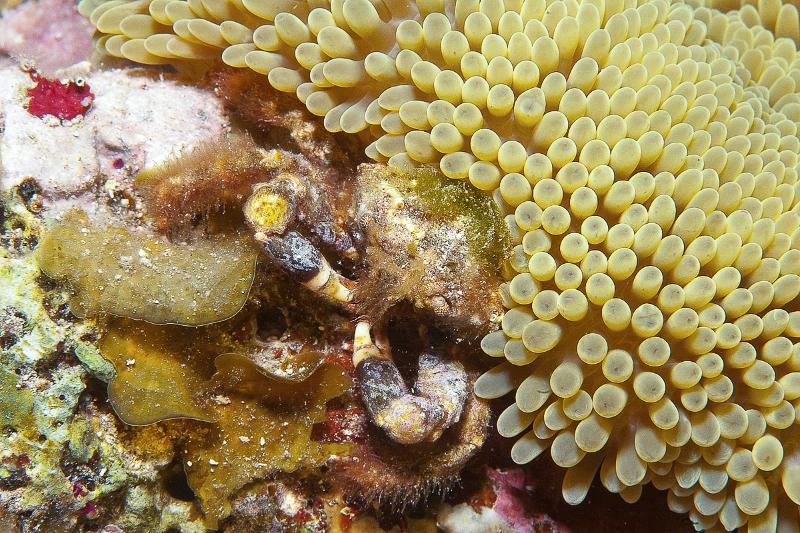 Rough Box Crab hides between Sun Anemone and Encrusting Fan-Leaf Algae.